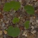 Small-flowered Cranesbill.png